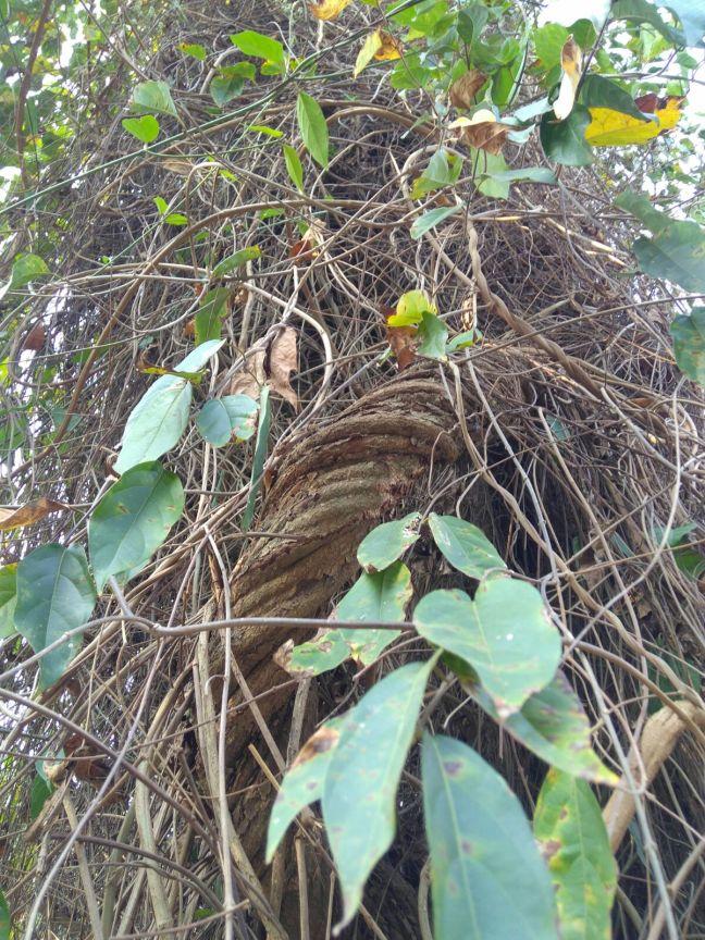 ayahuascavine